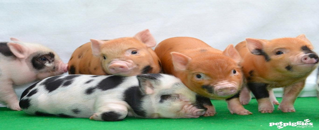 Get to know about Teacup Pigs